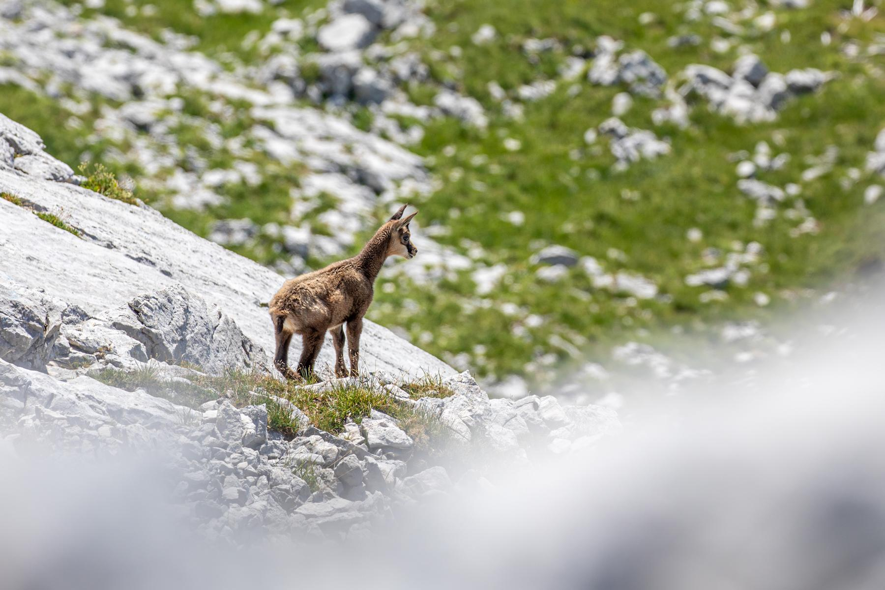 Junge Gams in den Ammergauer Alpen